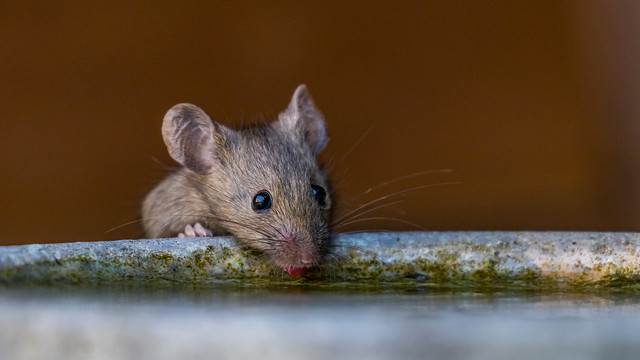 Thirsty Mouse