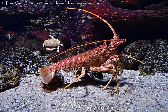 langoest - Palinurus vulgaris - spiny lobster