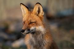 Fox Vixen