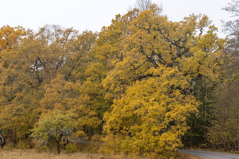 Autumn Oak