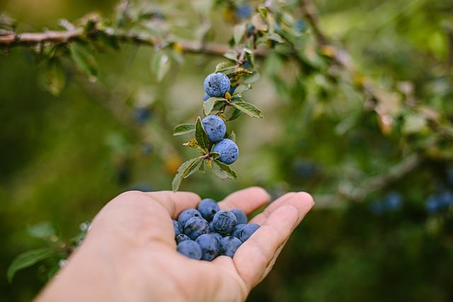 Blackthorn berries