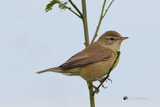 A Booted Warbler on a light perch