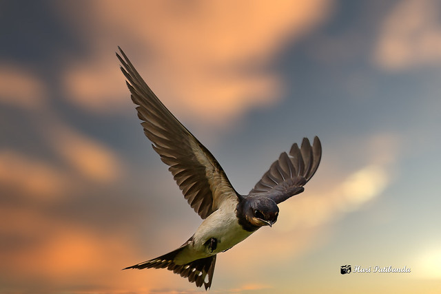 A Barn Swallow against the sky (Composite)