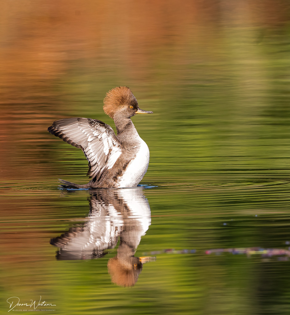 Hooded Merganser - Yellow Lake, Sammamish, WA