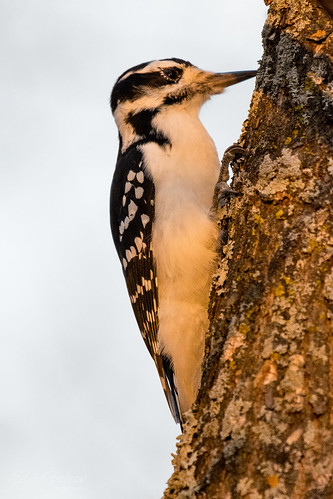 American Three-toed Woodpecker on a Mossy Tree during sunset. | by Classicpixel (Eric Galton) Photography Portfolio