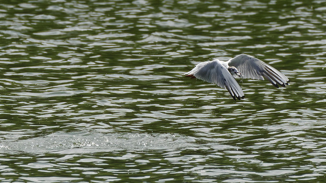a black headed Gull with a fish