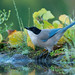 Charneco | Cyanopica cyanus | Azure winged magpie