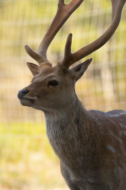 Cervus nippon taiouanus - Formosan Sika Deer