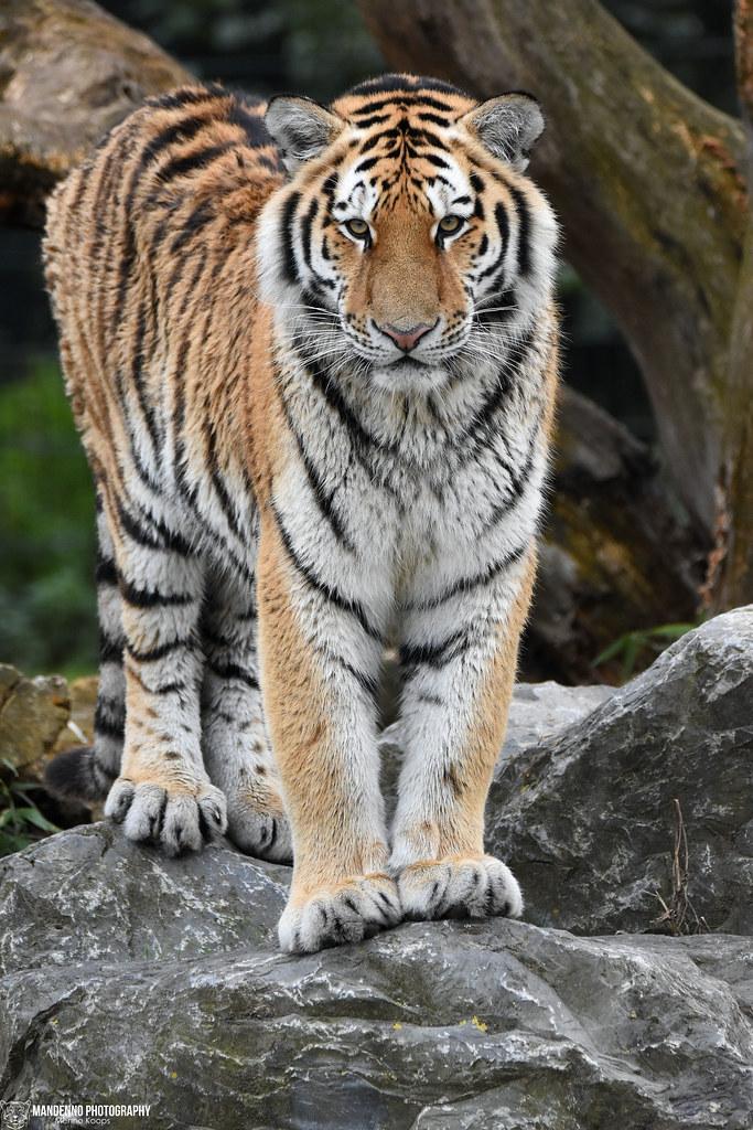 Siberian tiger - Safaripark Beekse Bergen