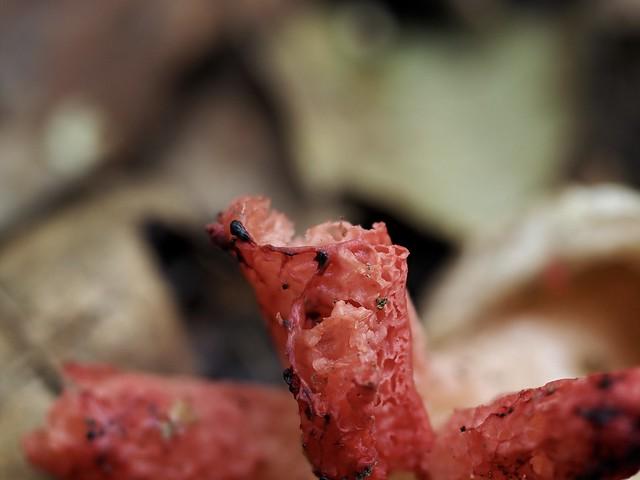 Devil's Fingers Fungus