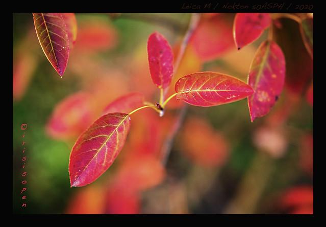 Rote-Blätter-#-L2000525-#-Leica-M-Voigtländer-Nokton-50ASPH-Nahlinse----2020