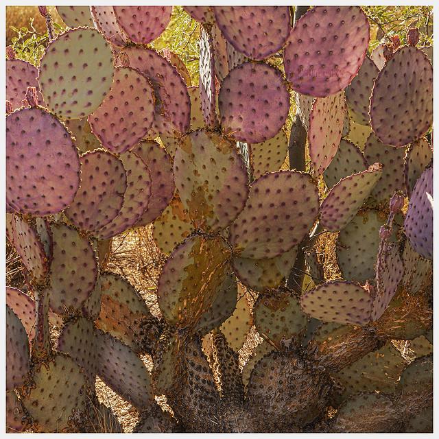 Cacti #40 2020; Opuntia santa-rita