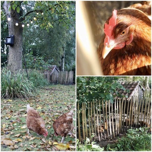 Kippen landelijke tuin