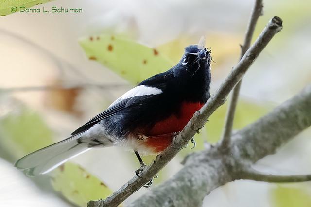 Floyd Bennett Field: Painted Redstart eats bug 2