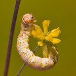 Mottled Umber Moth caterpillar.