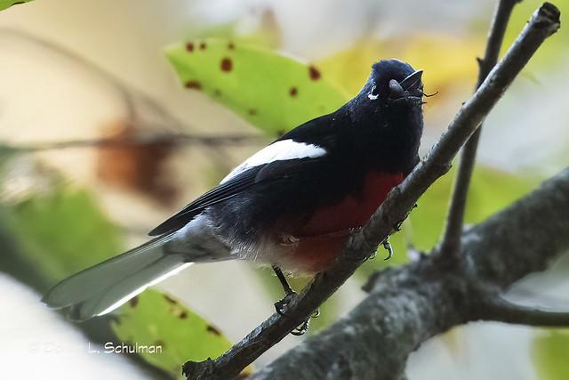 Floyd Bennett Field: Painted Redstart eats bug 1
