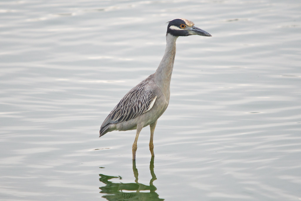 Yellow-crowned night-heron, Lima, Paru.