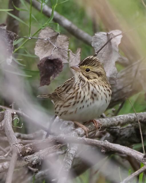 Savannah Sparrow - 1