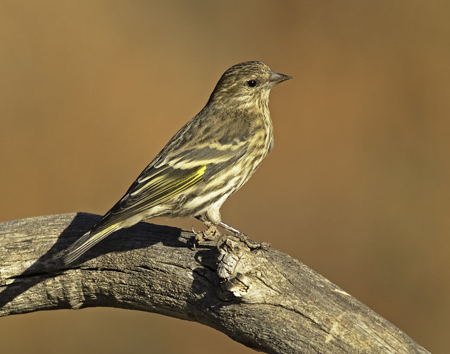 Pine Siskin, with typical autumn buckwheat in background