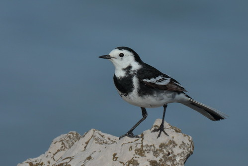 Pied Wagtail (HH)