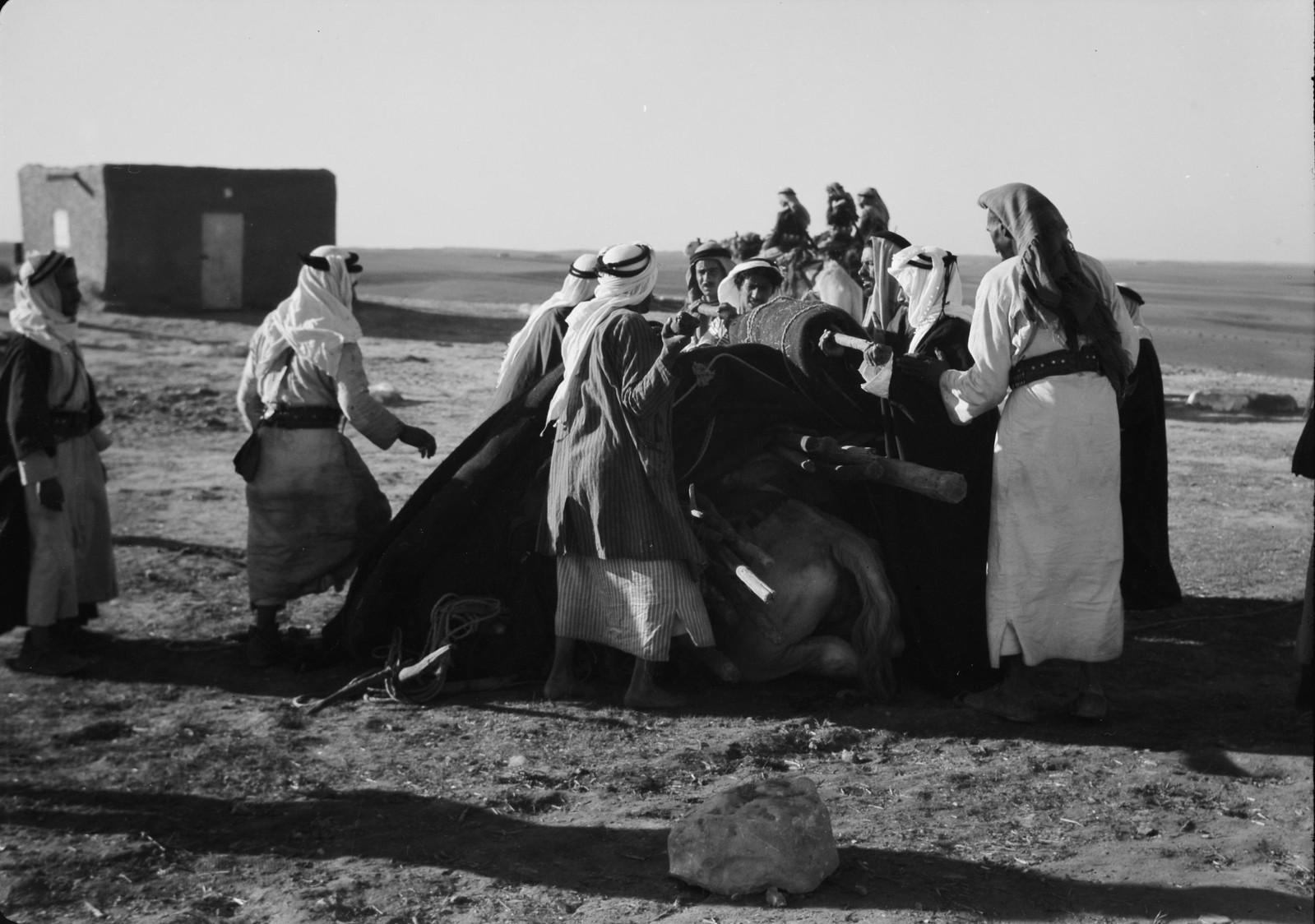 29. Свернутые палатки для приема гостей грузят на верблюда