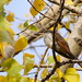 Yellow-billed cuckoo - P1000-2