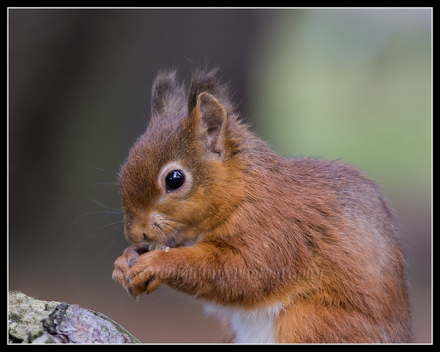 IMG_0014 Red Squirrel