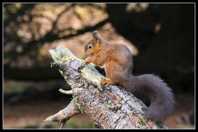 IMG_0011 Red Squirrel