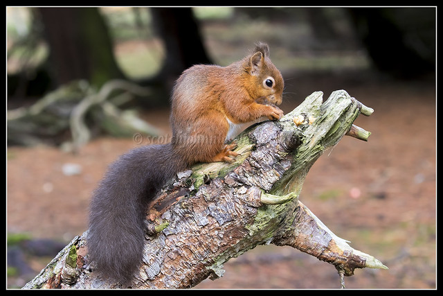 IMG_0017 Red Squirrel