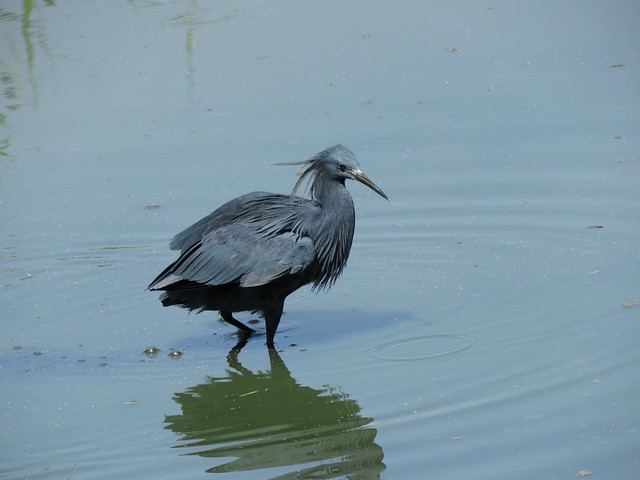 Black Egret  /  Swartreier