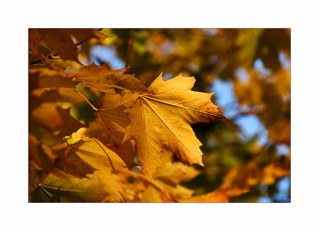 A sky so blue with leaves of pure gold..