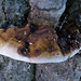 Resinous Polypore