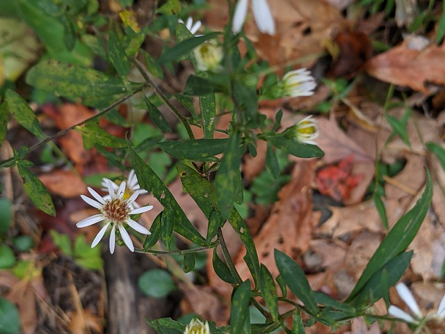 Symphyotrichum sp., Cohutta Wilderness, Gilmer County, Georgia