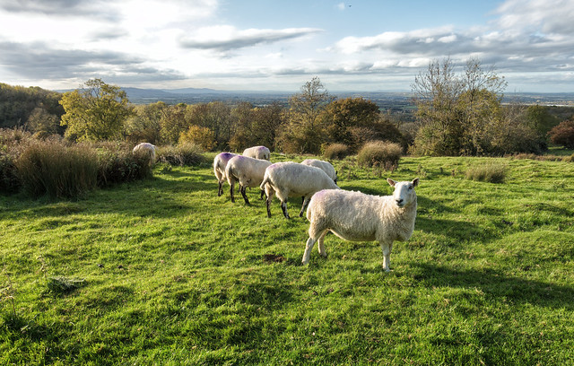 Sheep on Dovers Hill