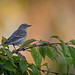 4903 Yellow-rumped warbler