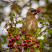 Cedar Wax Wing eating