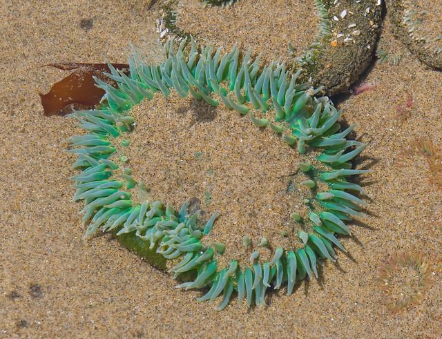 Beach Critter - Oregon Coast