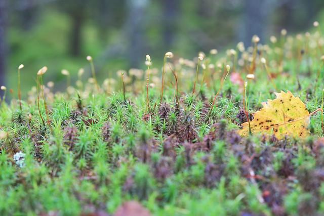 Moss Målsrydsskogarna, Västergötland, Sweden