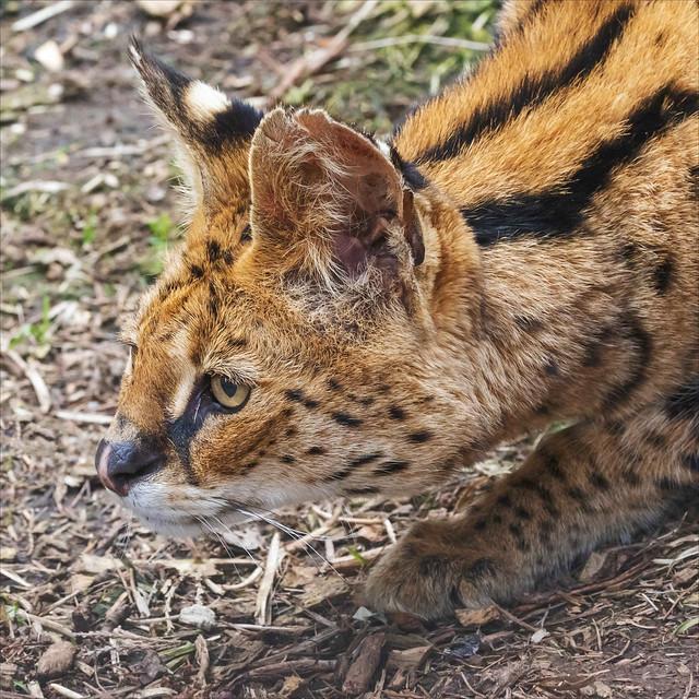 Serval preparing to pounce