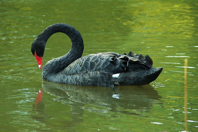 Black Swan Song?