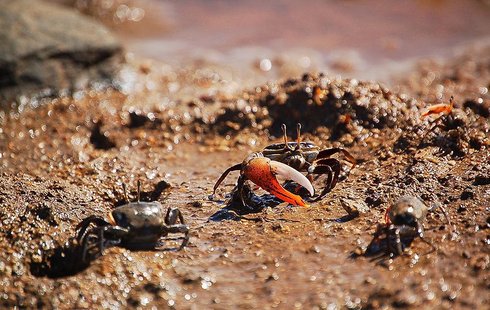_fiddler_crabs_3_