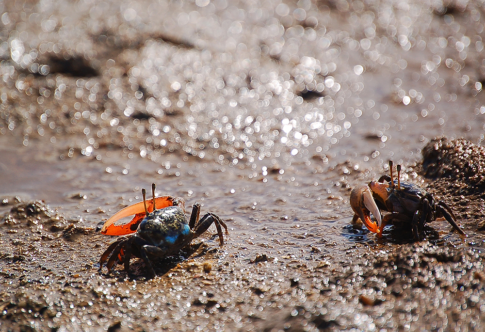 _fiddler_crabs_8_