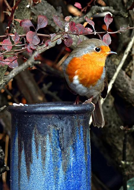 Robin in my garden