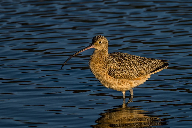 Long-billed Curlew © (explore)