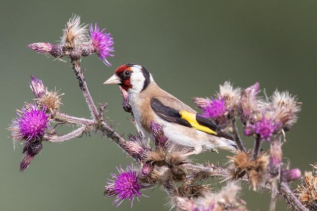 European goldfinch (Carduelis carduelis) Putter