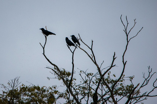 On the lookout: crows, West Park island