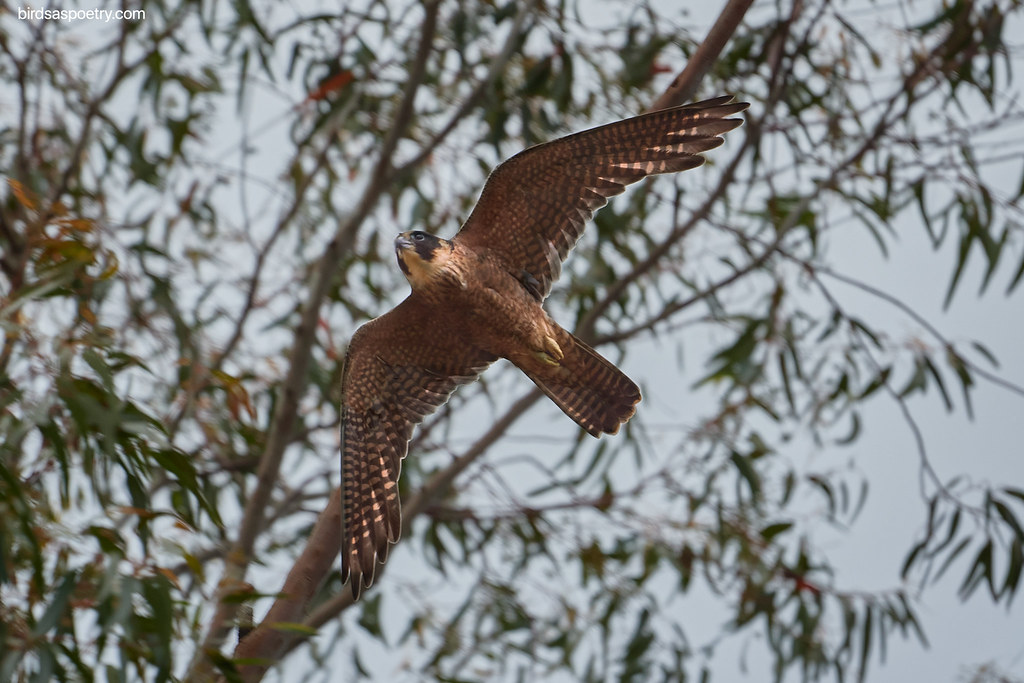 Australian Hobby: Missile Launched