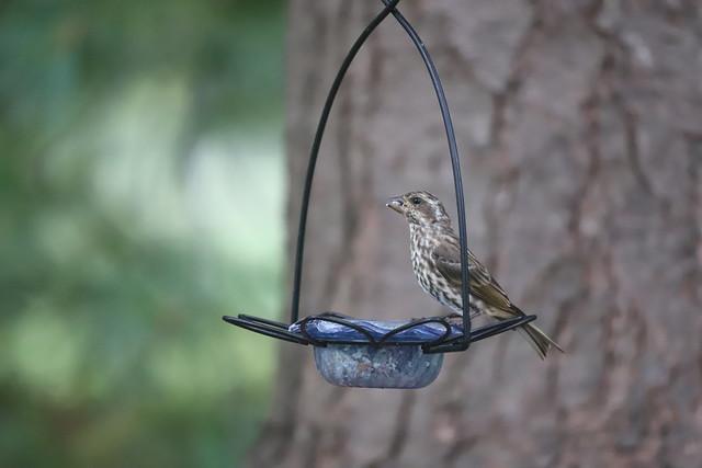 Purple Finch at my Bird Feeders (Ypsilanti, Michigan) - October 2020