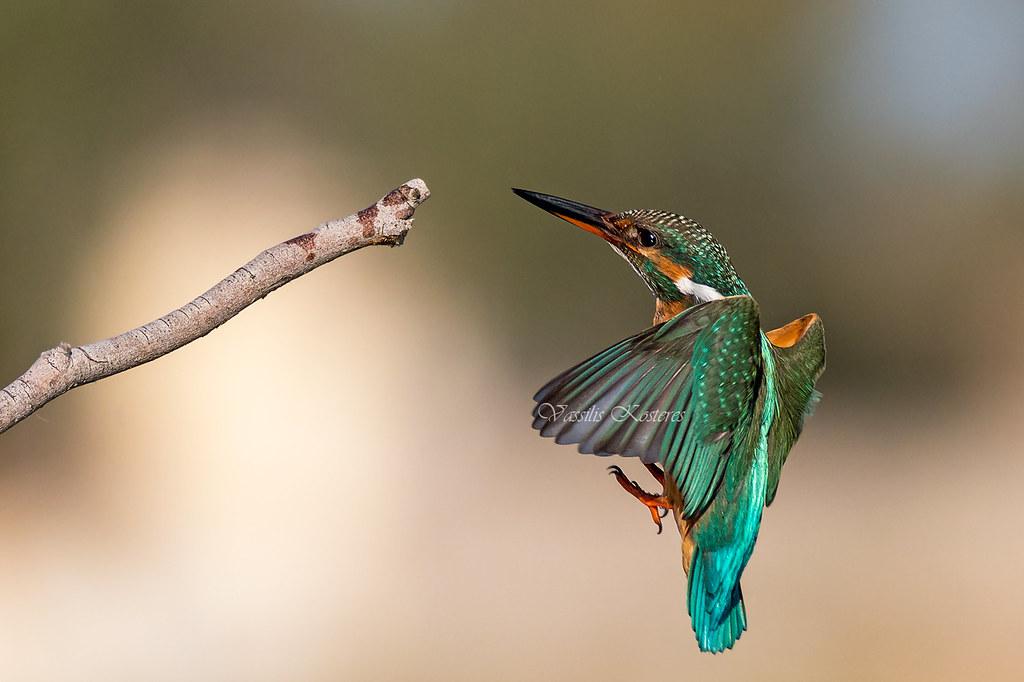 Alcedo atthis, Αλκυόνη, Common Kingfisher