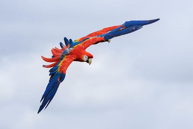 Scarlet macaw on display